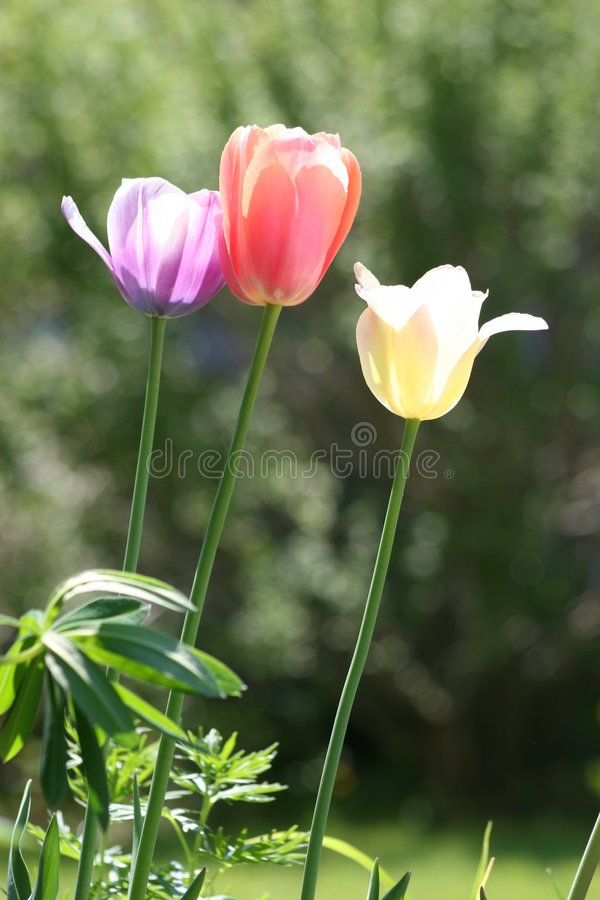 Three Easter Tulips royalty free stock photos