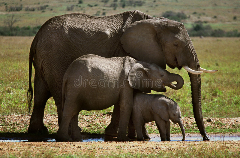 Three elephants. A family of elephants drink from a water hole in the Masi Mara stock photography