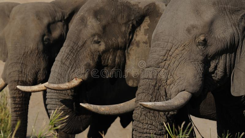 Three Elephants. This are three elephants in the Kruger National-Park in South Africa stock photo