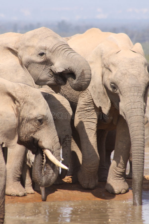 Free Three Elephants Close Up Drinking Stock Image - 7047751