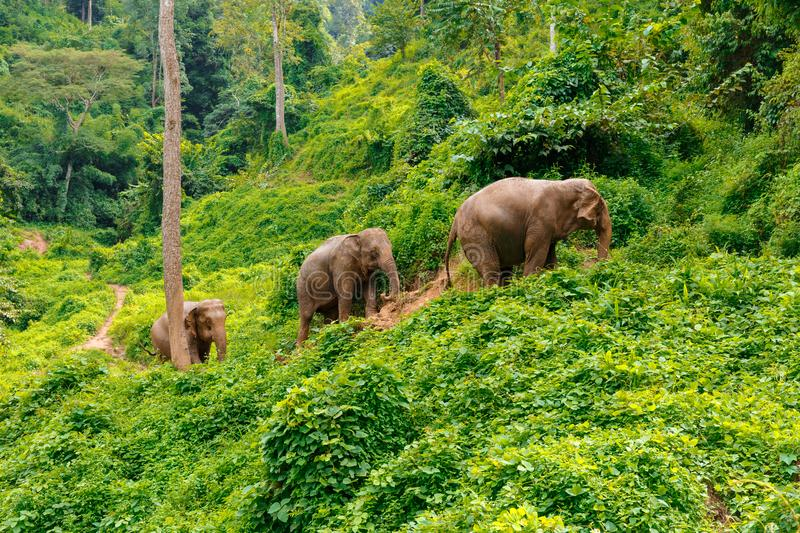 Three elephants walk at the jungle in Chiang Mai Thailand. Three elephants walk up a path at the jungle in Chiang Mai Thailand stock photo