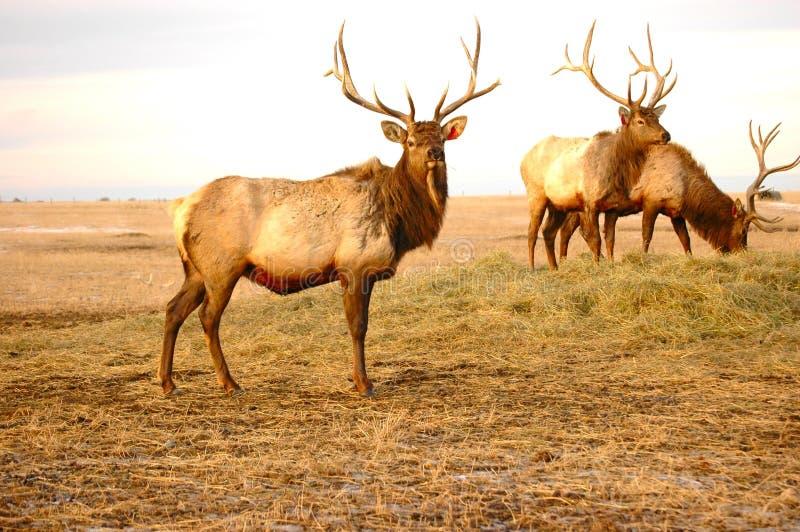 Download Three Elk stock image. Image of farm, pixart, hunt, saskatchewan - 463233