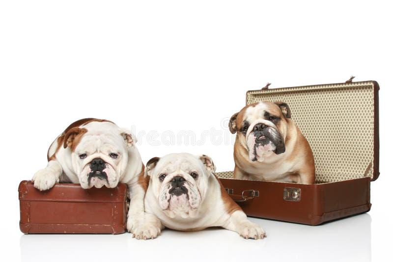 Three English Bulldogs Stock Photo
