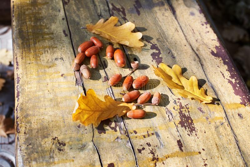 Three fallen yellow oak tree leaves and red acorns on old wooden board background close up, golden autumn foliage on bench in park royalty free stock photo