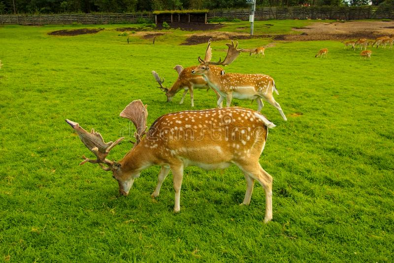 Three fallow deers in Kadzidlowo Park. Few Fallow Deers living in Kadzidlowow Wild Animal Park in Masuria in Poland. Animals are tame and close to people royalty free stock photography