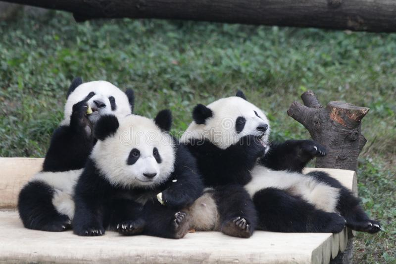 3 Playful Panda Cubs in Chongqing, China. Three Famous Panda Cubs of Chongqing stock photos