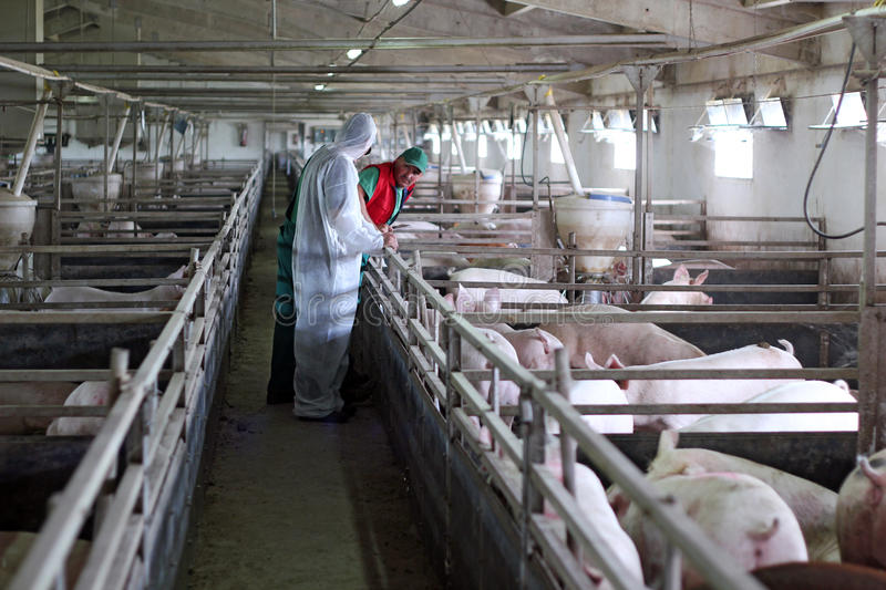Three Farm Workers. Veterinarian doctor with farm workers at a pig farm stock images