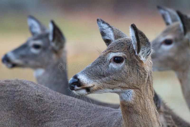 Three female deer. Looking off in the distance royalty free stock photo