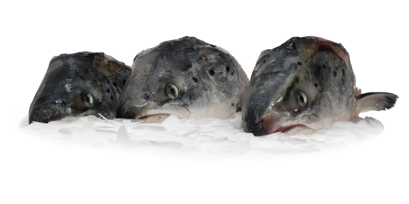 Three fish heads royalty free stock photography