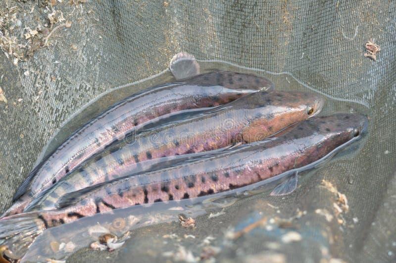 Three fish. stock photos
