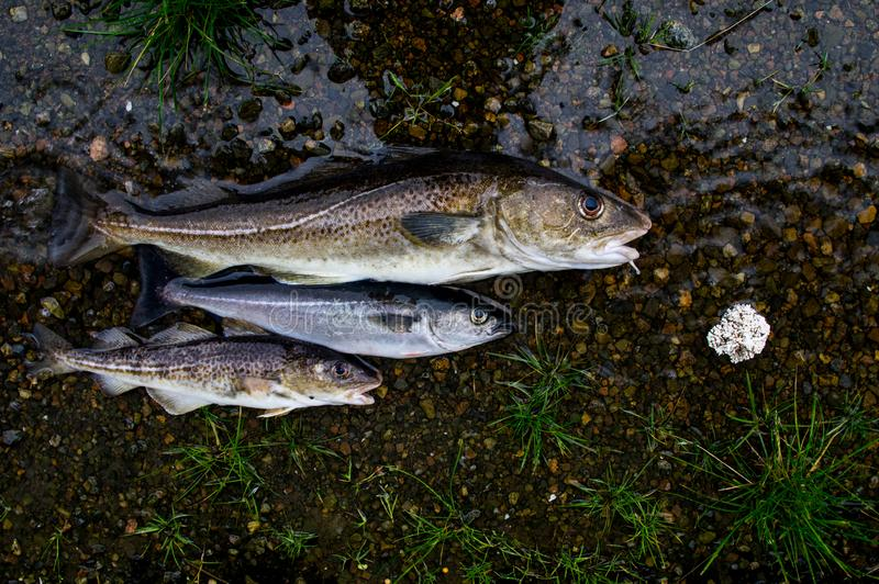 Three fishes - cod and pollock, Lofoten Islands, Norway stock photography