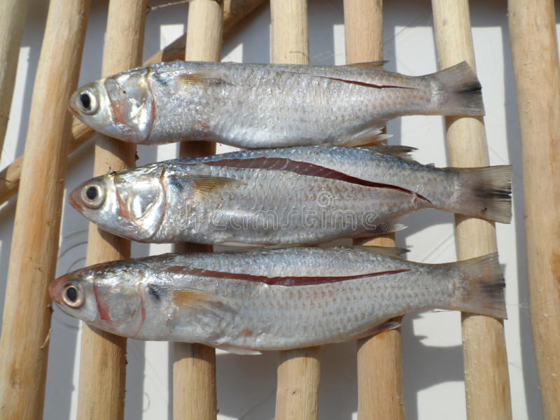Three fishes royalty free stock image