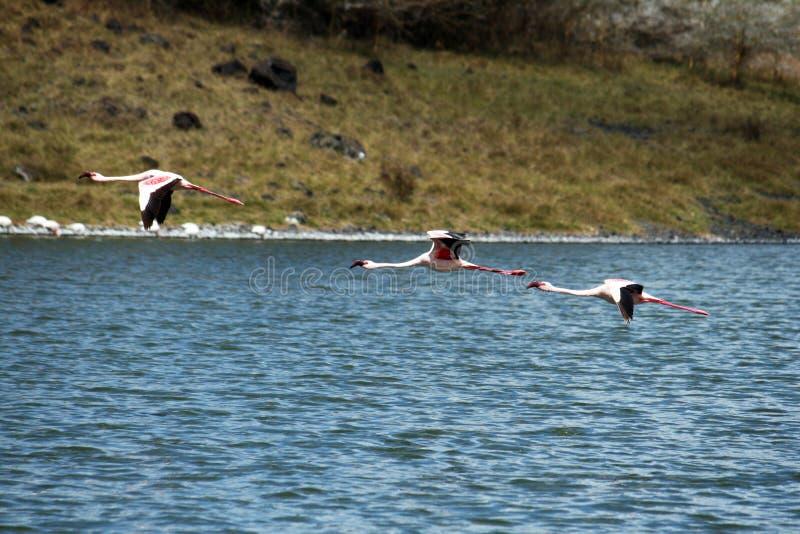 Three flamingos. Three pink flamingos in arusha park in tanzania royalty free stock photo
