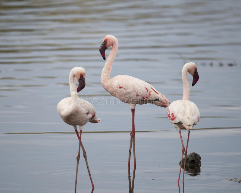 Three Flamingos standing in water, one sideview, one frontview, one backview. In the Serengeti National Park, Tanzania royalty free stock photo