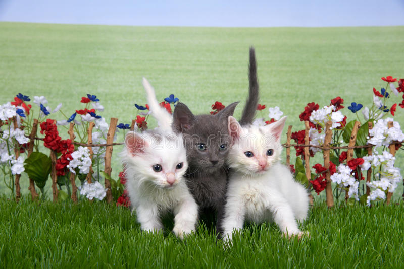 Three fluffy kittens in a flower garden. Three fluffy kittens, two white one gray sitting in green grass back yard setting, stick fence with red, white, blue royalty free stock images