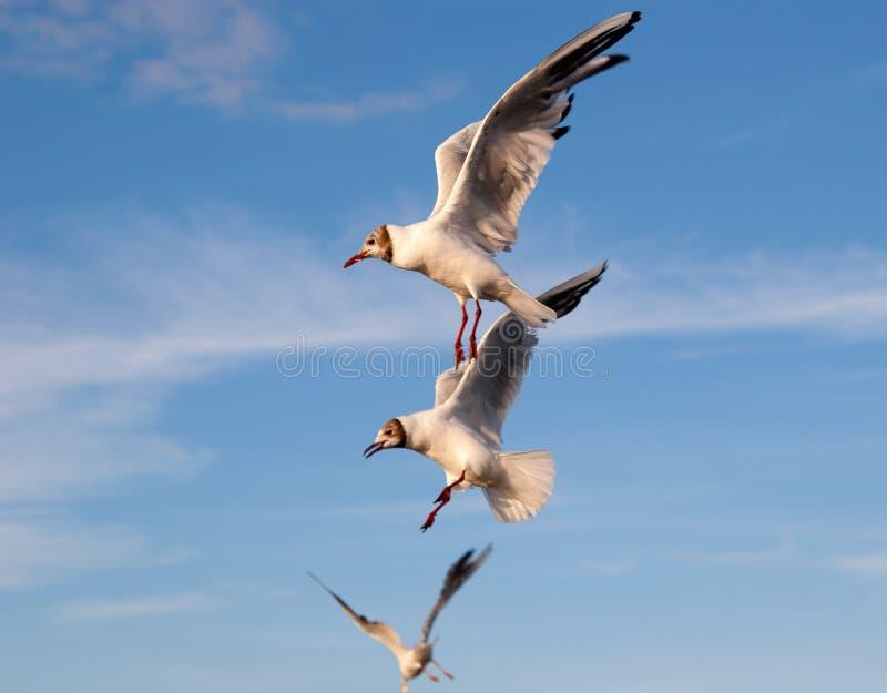 Three flying gulls