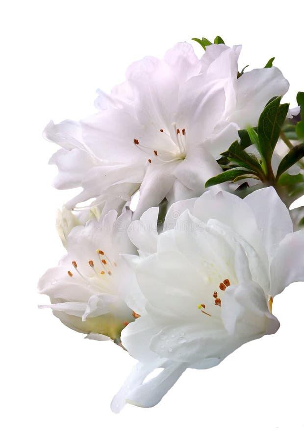 Three Focus Stacked White Azaleas Isolated on White stock images
