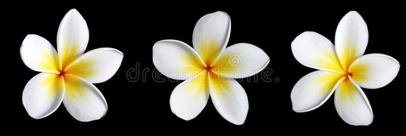 Download Three Frangipani on Black stock photo. Image of hawaiian - 1738314