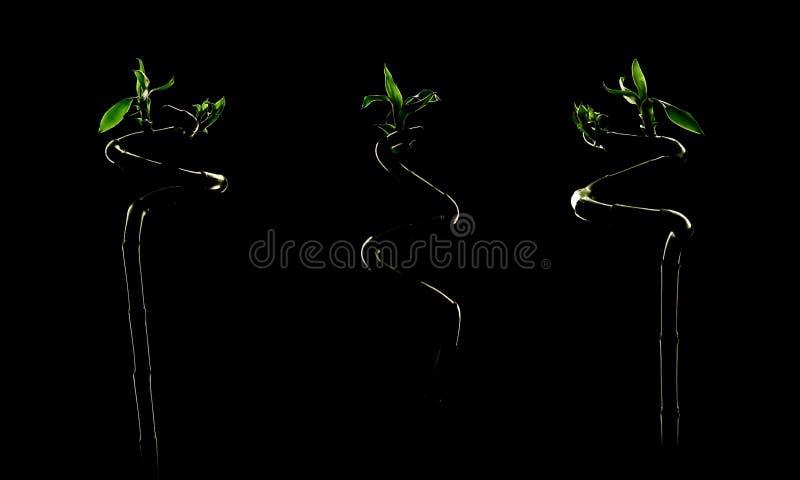 Three Fresh Lucky Bamboo over Black. Dracaena. Sanderiana royalty free stock image