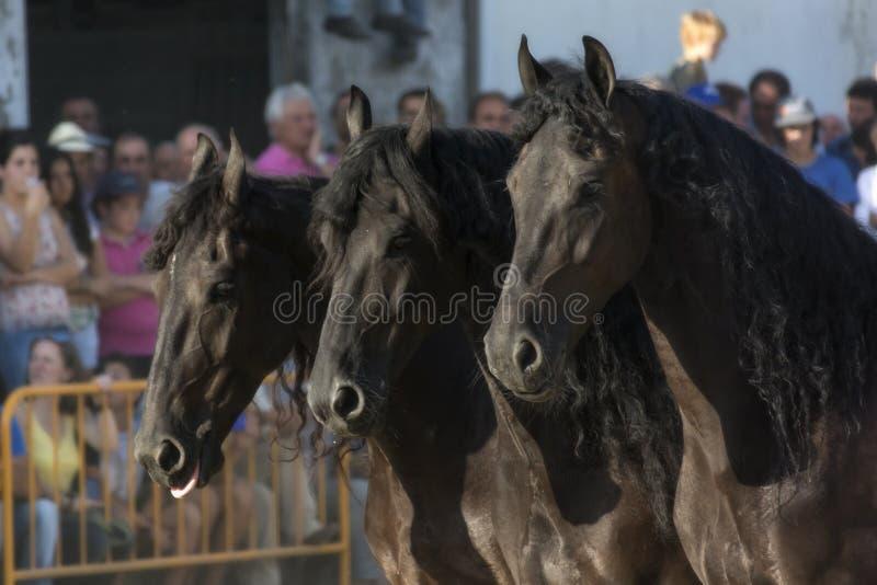 Three Friesian horses in the exhibition of Santi Serra in a horse fair in Lugo, Spain, august 2016 royalty free stock photos