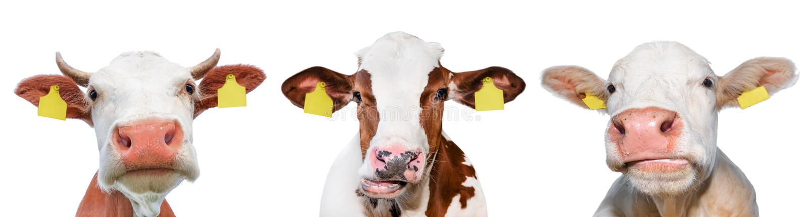 Three funny cow spotted isolated on a white background. Portrait of three cute cows. Farm animals stock photo