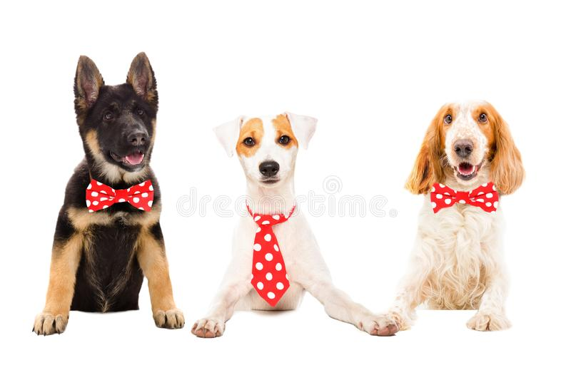 Three funny dogs in red ties royalty free stock photography