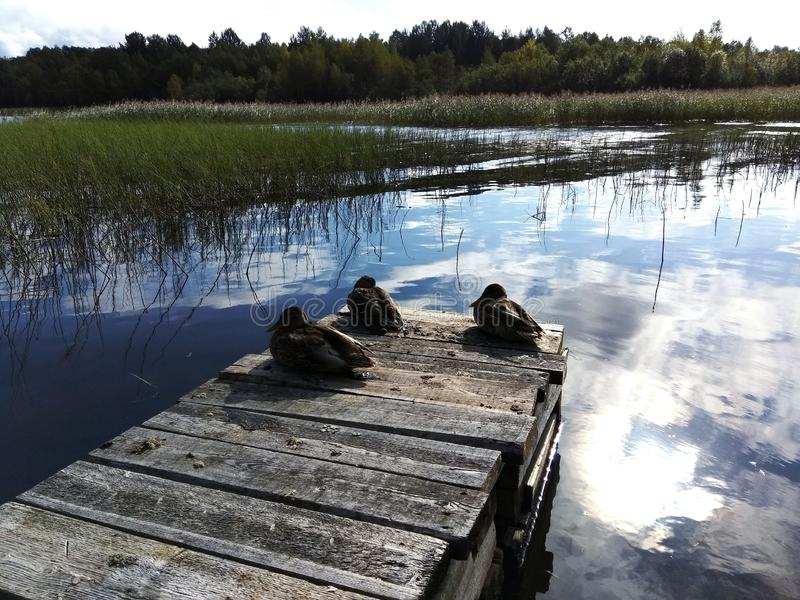 Three funny ducks. Three funny duck ducks nature water green forest reflection sky russia beautiful amazing nice summer stock photo