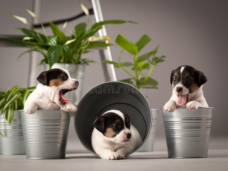 Three, funny puppies dog jack russell terrier, studio composition stock image