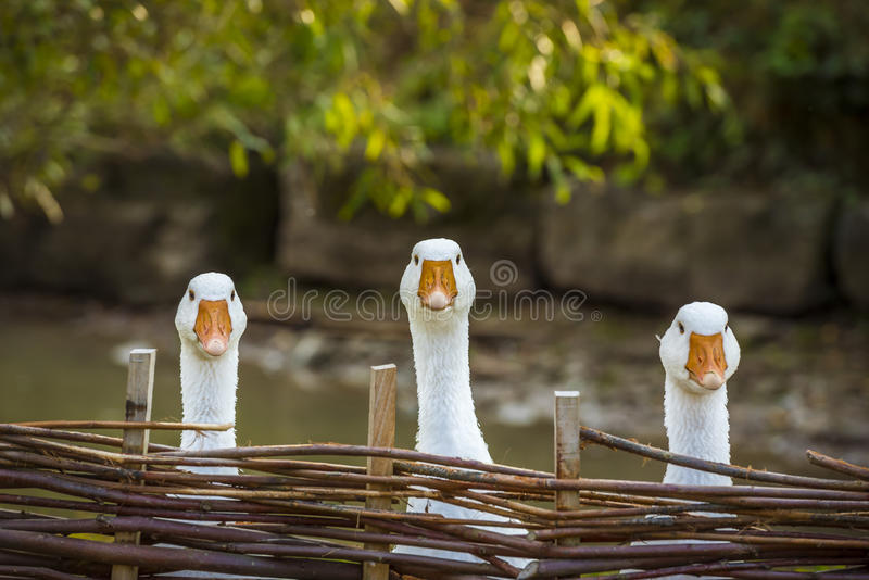Three funny white geese stock photography