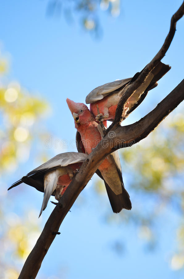 Three Galah cockatoos in tree. Three Eolophus roseicapillus or Galah Cockatoos in a Tree royalty free stock image