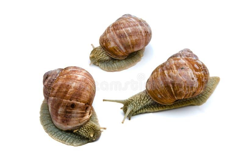 Three garden snails. On white background royalty free stock photos
