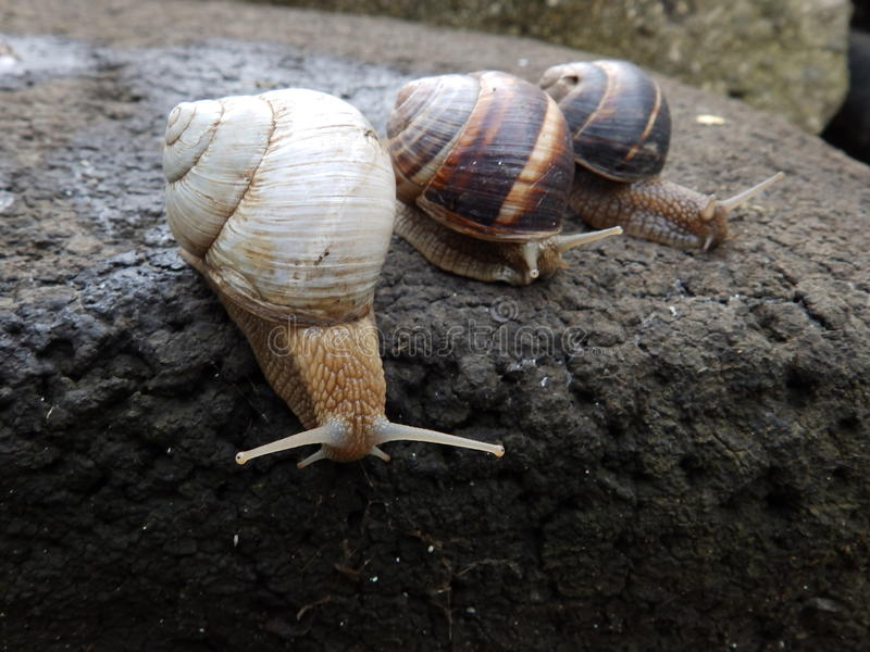 Three garden snails. And one is albino stock image