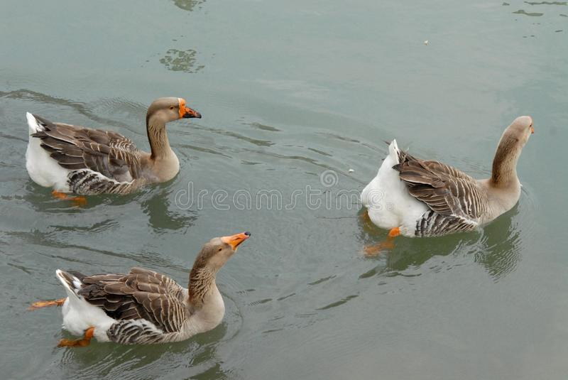 Three geese swimming in Dolo in the Brenta in the province of Venice in the Veneto (Italy). Photo made in Dolo in the province of Venice in the Veneto (Italy) royalty free stock images