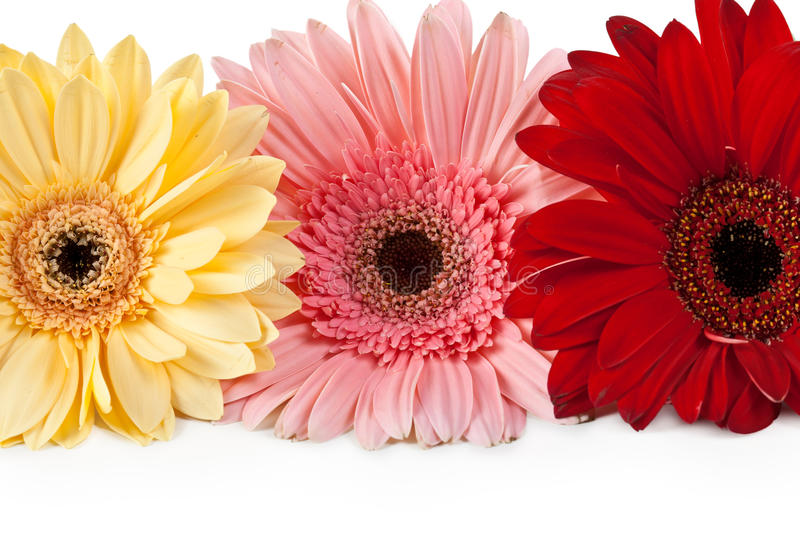 Download Three gerbera stock photo. Image of growth, collection - 19758768