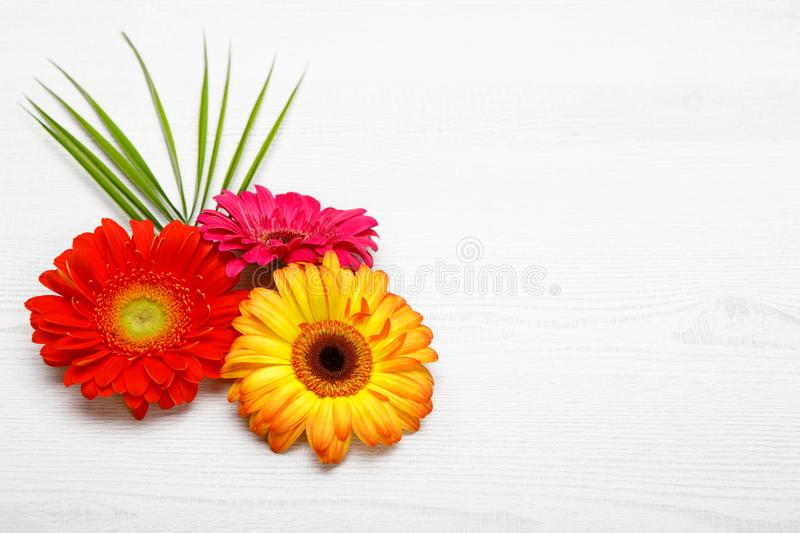 Three Gerbera flowers on white wooden table. Spring decoration with Daisy flower. royalty free stock photography