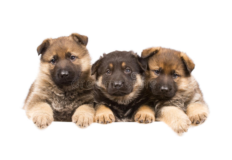 Three German sheepdogs puppys stock image