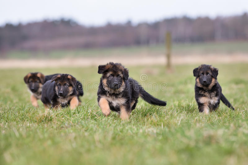 Three German Shepherd Puppies playing. Three purebred young German Shepherd dog puppies having fun outdoors on a grass field on a sunny spring day royalty free stock photography