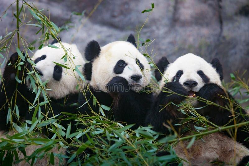 Three giant pandas. Close up shot of giant pandas