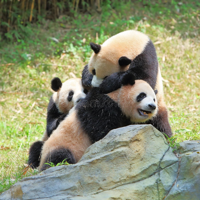 Three giant Pandas playing royalty free stock photos