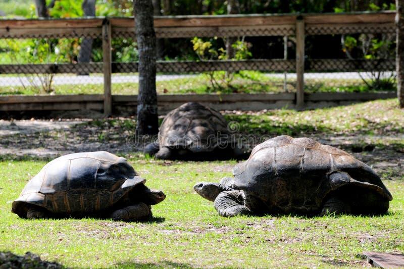 Three giant tortoises in zoo stock photography