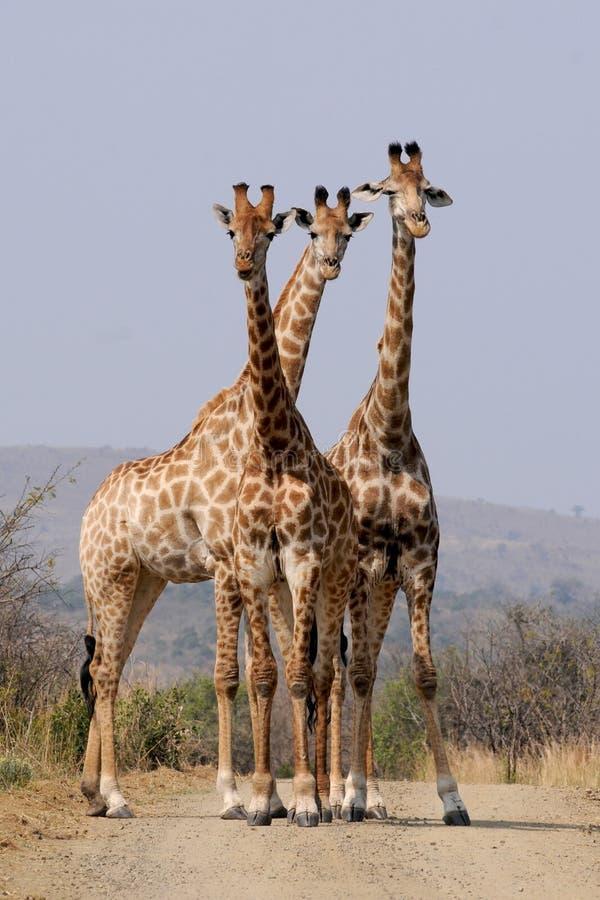 Three Giraffes Free Public Domain Cc0 Image