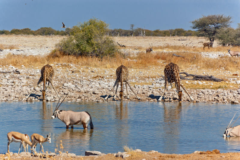 Download Three giraffes drinking stock image. Image of even, africa - 25943985