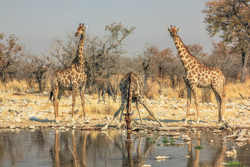 Three giraffes drinking stock images