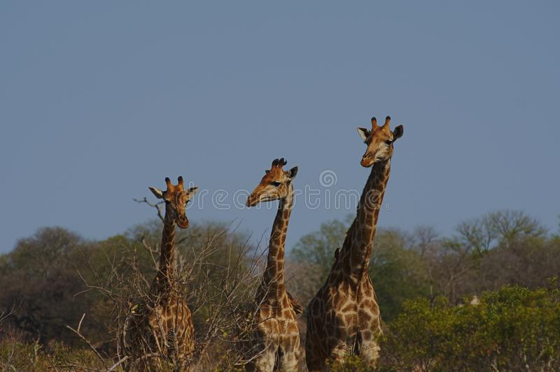 Three giraffes lined up in order of height, Kruger, South Africa. royalty free stock image