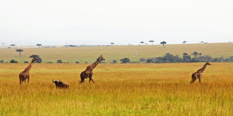 Three giraffes in a row royalty free stock photo