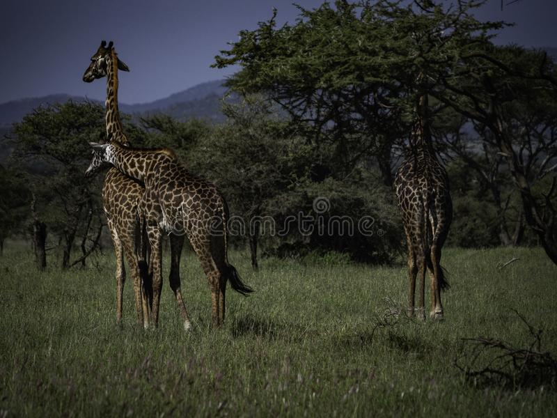 Three giraffes in Serengeti National Park, Tanzania, Africa. royalty free stock photo