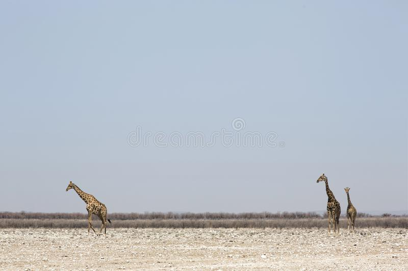 Three giraffes standing in the Southern African savanna stock photos