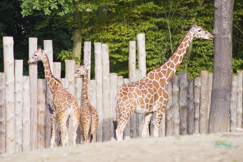 Three Giraffes. Closeup of a Giraffe head eating royalty free stock photo