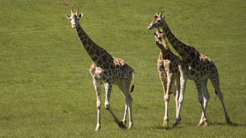Three giraffes walk royalty free stock photos