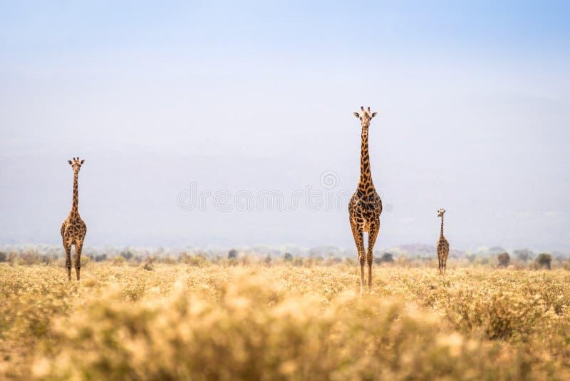Three giraffes walking on savanna stock photo